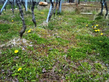 圃場の下草