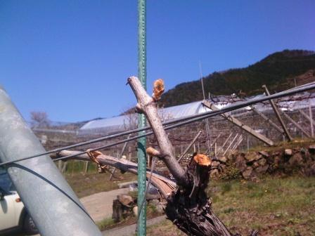 桜沢圃場の膨らみ始めたシャルドネの芽