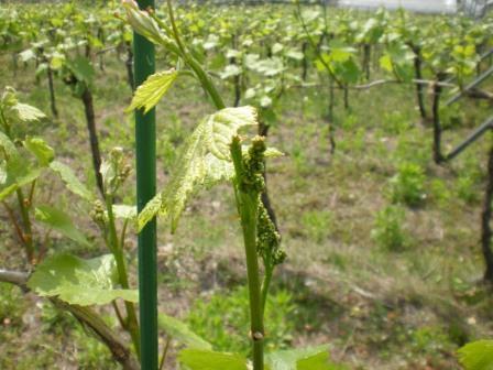 葡萄の花芽